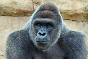 Harambe-at-Gladys-Porter-Zoo-before-being-relocated-to-Cincinnati-Zoo